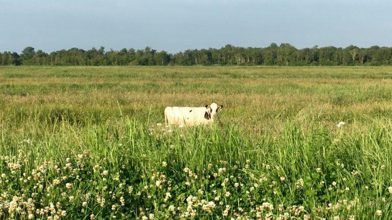 Weiland met koe